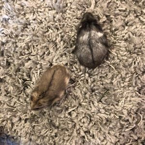 Other - 2 Roborovski Dwarf Hamsters Names:Deyo & Cookie